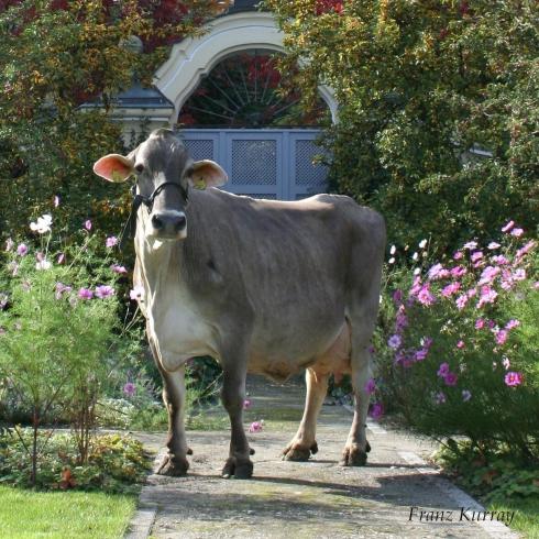 Videv Evita in na 12.000 kg melk